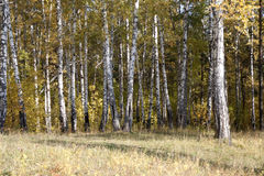Birch in the autumn forest. The trunks of birch trees on a bright sunny day in the autumn Siberian forest Royalty Free Stock Photos