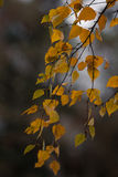 Birch autumn gold. Stock Images