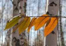 birch in autumn royalty free stock image