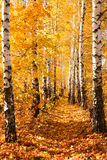 Birch Autumnal Alley Royalty Free Stock Image
