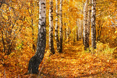 Birch autumnal alley. Sun weather. Nature background Stock Photography