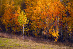 Birch autumnal forest. Sun weather. Nature background stock image