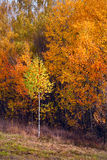 Birch autumnal forest. Sun weather. Nature background royalty free stock photo