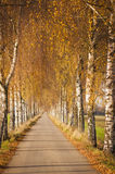 Birch avenue in autumn Stock Images