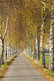 Birch avenue in autumn Royalty Free Stock Image