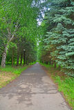 Birch avenue in Dendrology garden in Pereslavl-Zalessky city Royalty Free Stock Photo