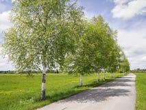 Birch avenue Stock Photography