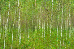 Birch background Royalty Free Stock Image