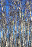 Birch background Royalty Free Stock Image