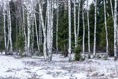 Birch on a background of firs. Stock Photography