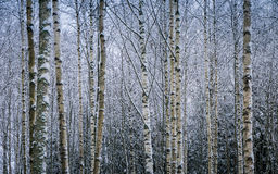 Birch background Royalty Free Stock Photos