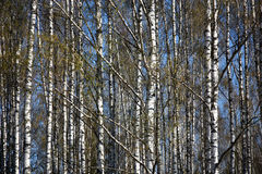 Birch background. Spring. A bright sunny day. A birchwood. On branches there are ear rings and young green leaves. Between white trunks the blue sky is visible stock photography