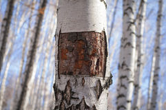 Birch background. The square cut on the trunk of a birch Stock Photography