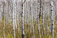 Birch background Royalty Free Stock Photography