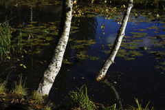 Birch on the bank of a pond Stock Photography