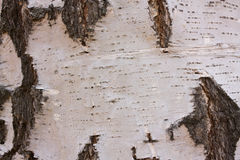 Birch bark Stock Images