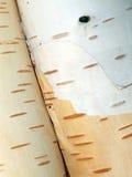 Birch bark. In the sun Stock Photography