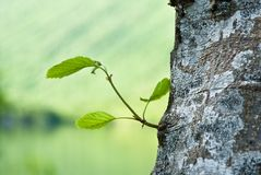 Free Birch Bark Stock Photo - 3523320