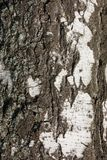 Birch bark. Natural bark of birch useful for background Stock Images