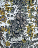Birch bark background with moss Stock Images