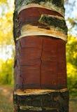 Birch bark Royalty Free Stock Photography