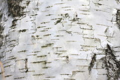 Birch bark with beautiful texture for black and white background Royalty Free Stock Images