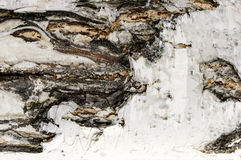 Birch bark close, texture and background royalty free stock photo