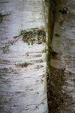Birch bark close up Royalty Free Stock Images