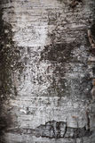 Birch bark. Stock Photo