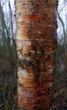 Birch bark. stock photos