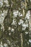 Birch bark closeup Stock Photos