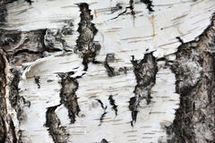 Birch bark closeup. Russia, Siberia, birch bark closeup on the banks of the river Angara June 30, 2017 Royalty Free Stock Photos