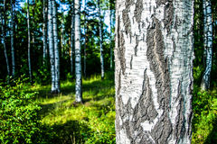 The birch bark. Royalty Free Stock Photo