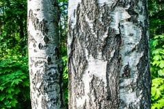 The birch bark. Birch grove Stock Images