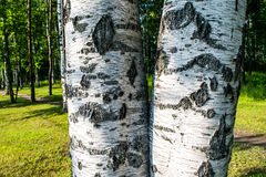 The birch bark. Birch grove Royalty Free Stock Photo