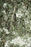 Birch Bark With a Lichen Stock Photo