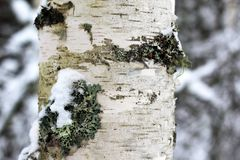 Birch bark with lichens stock images