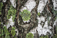 Birch bark in moss as background Stock Images