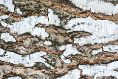 Birch bark. Stock Photography