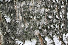 Birch bark-the outer protective layer of birch bark. Birch bark Bark is the top layer the white external part of the birch bark stock photo