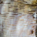 Birch Bark Paper Stock Images