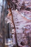 Birch bark peeling off of a tree trunk royalty free stock images