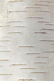 Birch bark, a Russian forest, spring. Royalty Free Stock Photography