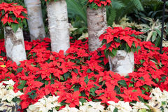 Birch bark sentinels guard the threatened cycad. Conservatory garden during the Christmas season at Allan Gardens, Toronto, Ontario, Canadacolor image, canon Royalty Free Stock Photo