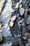 Birch Bark Stock Photography