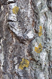 Birch bark on a sunny day.  Royalty Free Stock Photography