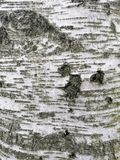 Birch bark surface pattern stock image