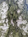 Birch bark surface pattern royalty free stock photo