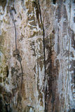 Birch bark texture Royalty Free Stock Photography