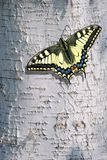 Birch bark texture background. Butterfly sitting on a birch bark. Swallowtail butterfly, Papilio machaon. royalty free stock photography